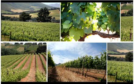 Non-Alcoholic Beverages Western Cape | Vineyards